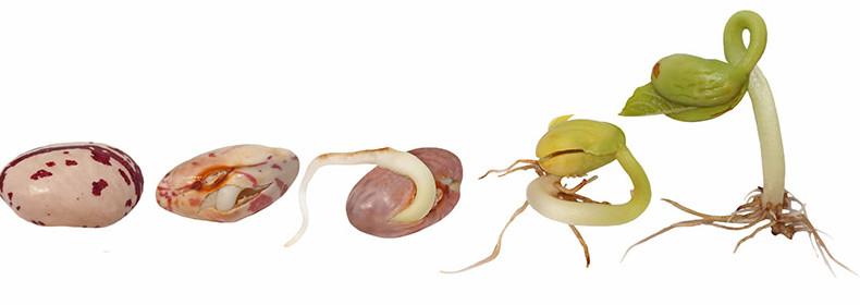 bienfaits graines germées